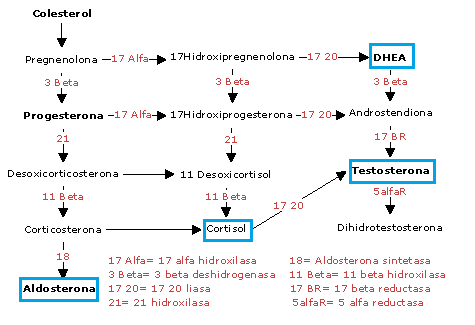 esteroidogenesis fisiologia